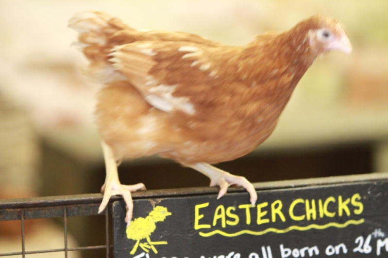 A farmyard chicken sitting on the sign for holding eEaster chicks
