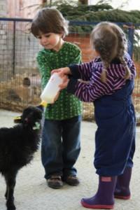 Sheep - Lambing - bottle feeding - spring