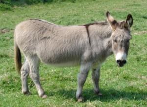 A gorgeous grey donkey enjoying some lush green grass