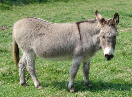 Donkey - Church Farm Stow Bardolph