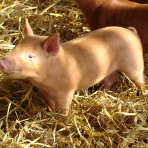 A lovely tamworth orange piglet in the straw