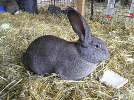 Lambert the giant rabbit - what enormous grey ears he has!