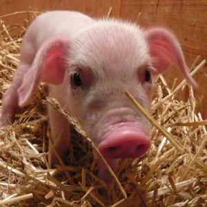 The cutest British Lop piglet and his gorgeous snout routing in the straw