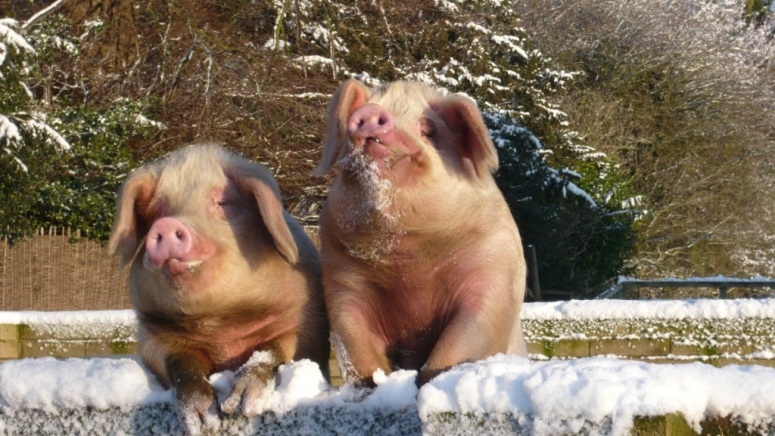 Our beautiful Gloucester Old spot pigs looking over the wall for food in the winter