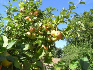 The beautiful apples in the walled garden