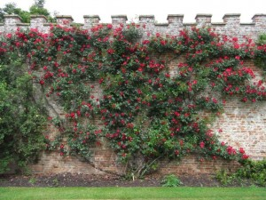 The walls covered in glorious red roses are at their best in June