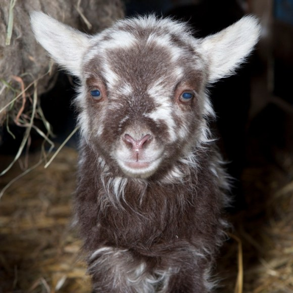 A lovely lamb born at the farm
