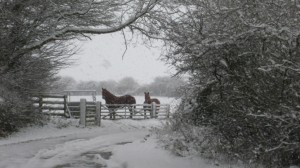 OUr Suffolk Punch Horses on a very snowy day