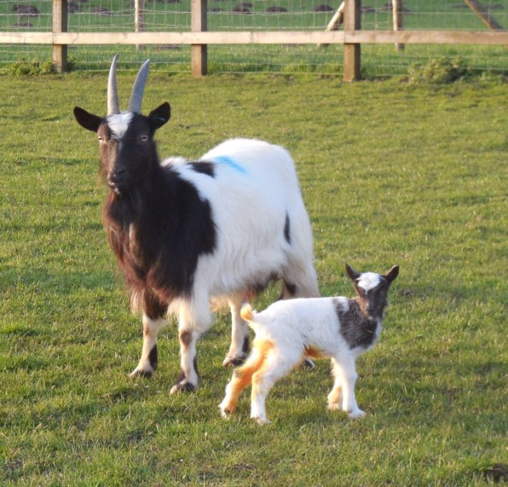 A nanny bagot goat with her new born kid