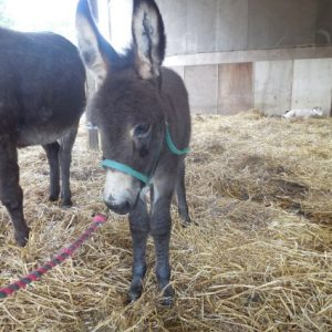 A donkey foal called Rolo