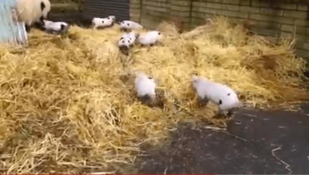 Bramley & her Piglets