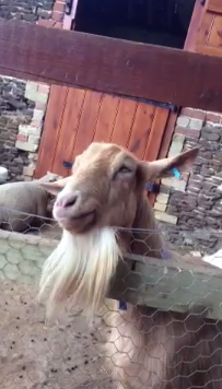 Loretta the Goat has an Itchy Chin