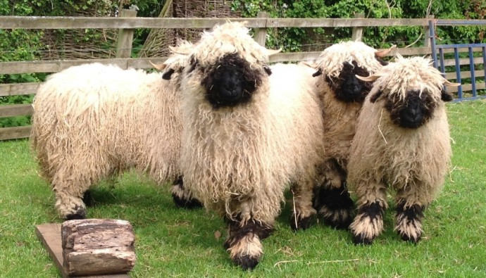 Sheep - Swiss Valais Blacknose