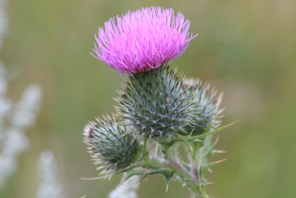 Nature Walks - thistle