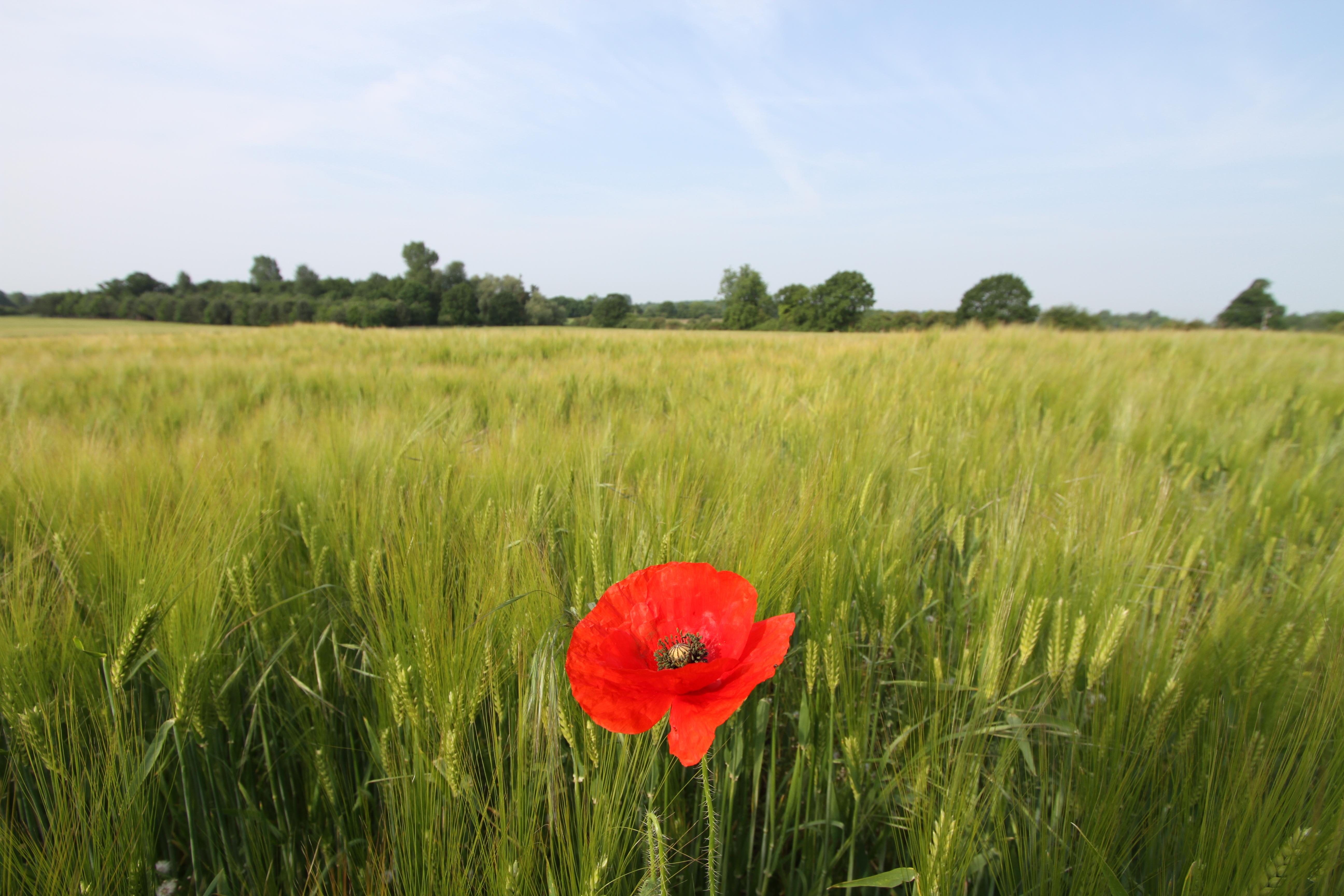 Nature Walks - poppy