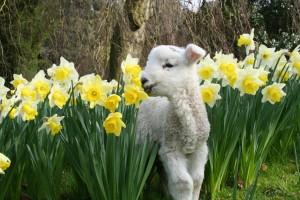 lambing 2016 - daffodils