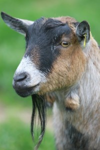 A head shot of a lovely pygmy goat that are in the petting pens