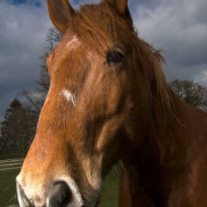 Belle our beautiful Suffolk Punch mare leaning over the fence