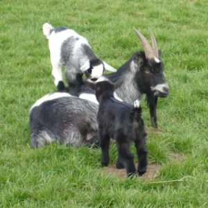A pygmy nanny goat with her two kids that just love to play