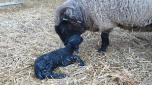 A just born Norfolk Horn lamb