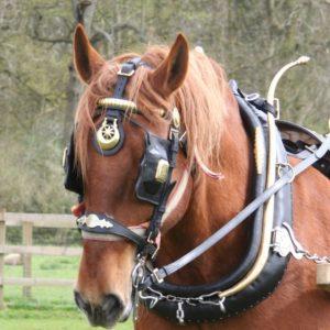 Bernard our beautiful Suffolk Punch in harness