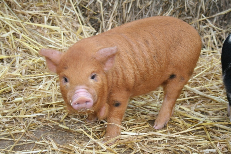 A beautiful orange coloured kune kune piglet in the straw