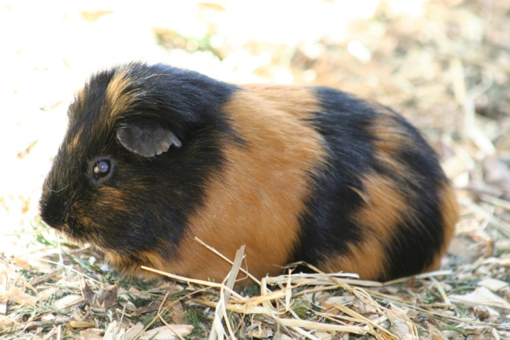 A black and tan guinea pig in the petting pen