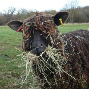 A black Wenslydale sheep with a mouthful of hay
