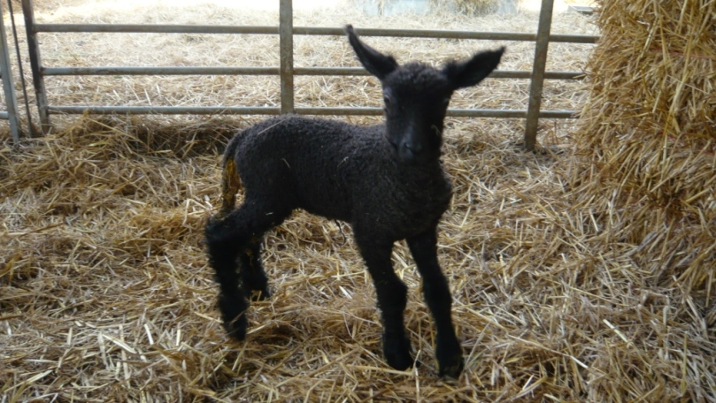 A single black lamb - with spindly legs