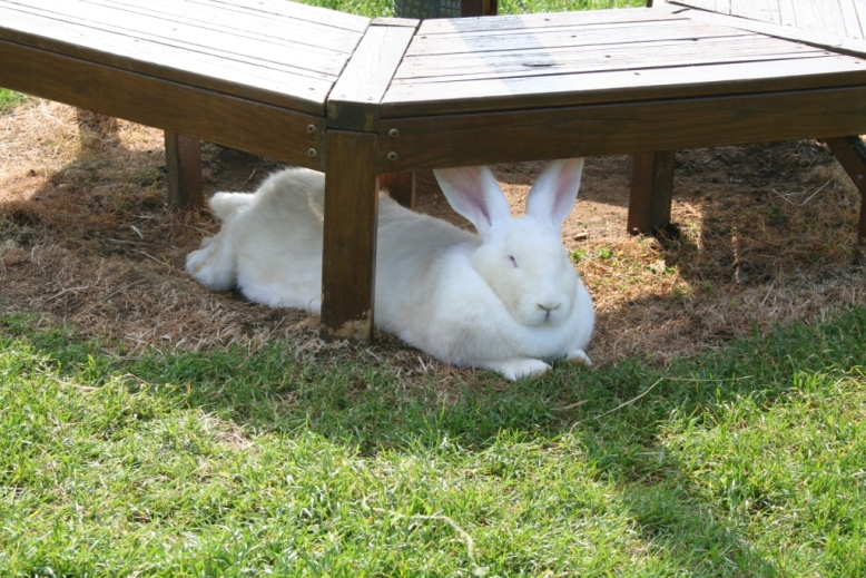 A giant white rabbit enjoying the shade in the petting pens