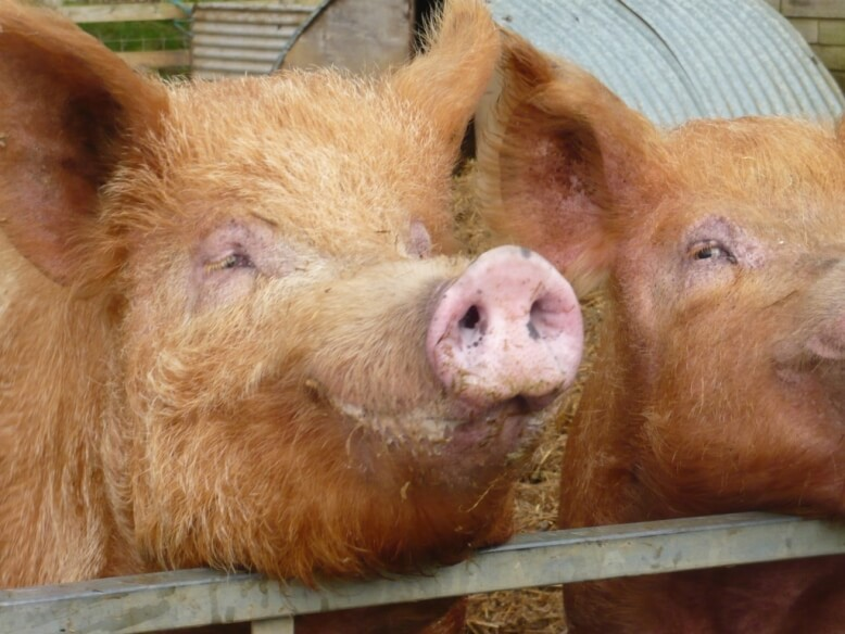 Trumpington the Tamworth boar and one of his wives resting their enormous heads on the fence