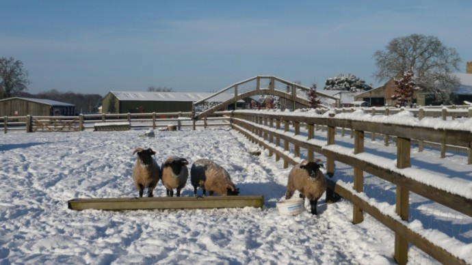 Sheep feeding in the snow in winter time
