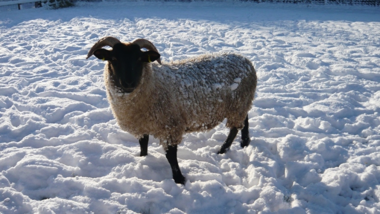 A sheep in the deep snow in winter