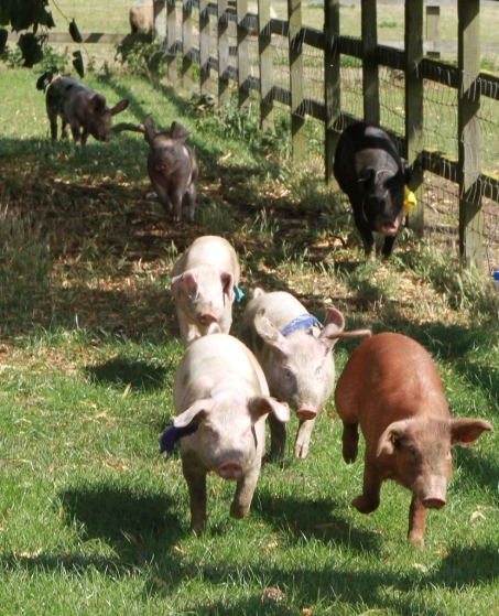 Pig racing on a lovely summers day - they are fast