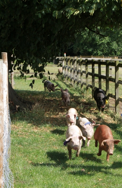Piglets in the summer pig racing olympics - watch them go!