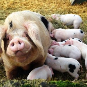 A Gloucester Old spot sow with lots of piglets - very cute!