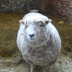 Cottonsox our gorgeous Southdown sheep, just like a teddy bear