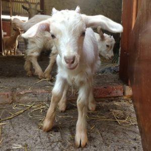 A very funny Golden Guernsey goat kid - what big ears he has!