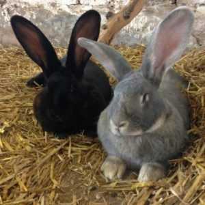 Lambert the giant grey rabbit and Blackberry the black giant rabbit are best of friends