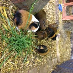 A host of guinea pigs eating their favourite food - grass