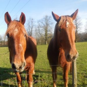Bernard and Belle our beautiful Suffolk Punches enjoying the sunshine