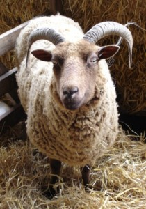 A Manx Loaghton ewe waiting to lamb