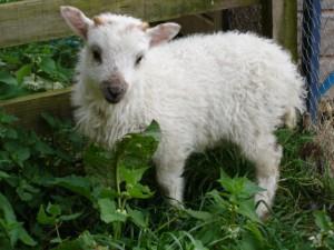 A very cute Boreray lamb