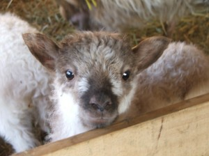 A North Ronaldsay lamb in spring time