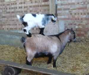 A naughty goat kid using its Mum as a climbing frame!