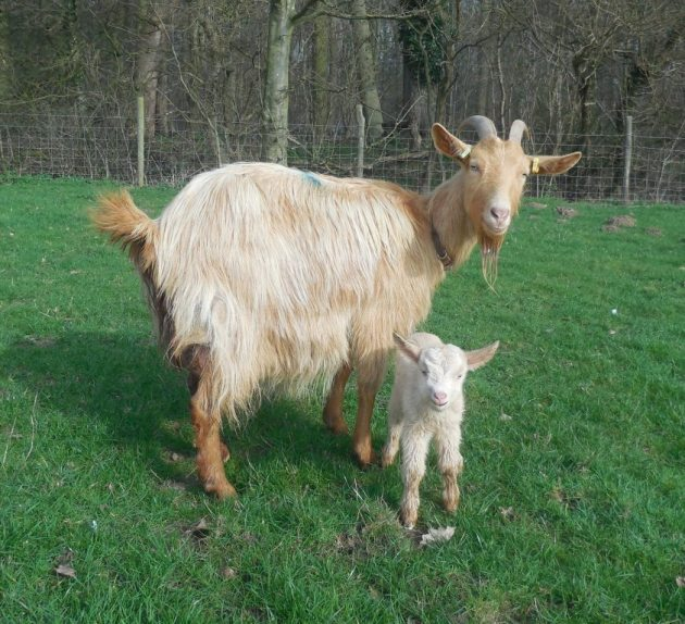 A Golden Guernsey nanny goat with her new born kid