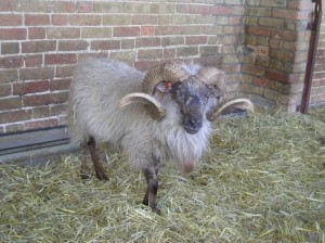 A beautiful example of a Boreray Ram - what fantastic horns!