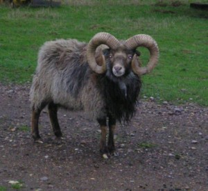 A North Ronaldsay Ram with beautiful curly horns