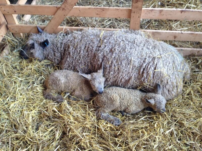 A Wensleydale ewe with her new born lambs