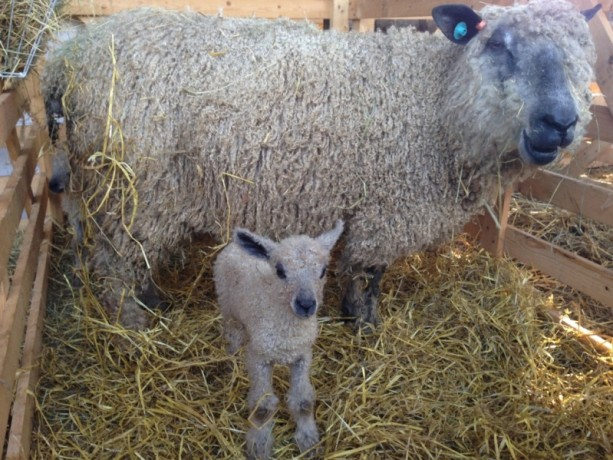 A Wensleydale ewe with a new born lamb